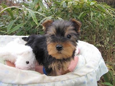 ヨークシャーテリアの子犬(ID:1232811080)の4枚目の写真/更新日:2015-12-06