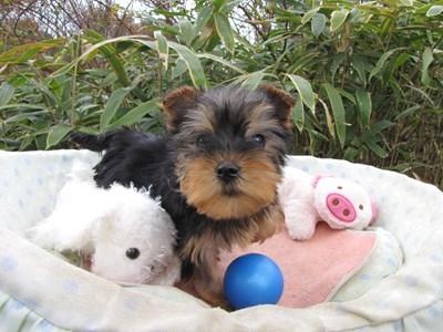 ヨークシャーテリアの子犬(ID:1232811080)の6枚目の写真/更新日:2015-12-06