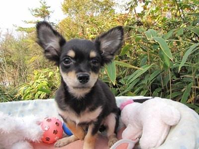 チワワ(ロング)の子犬(ID:1232811081)の1枚目の写真/更新日:2015-11-11