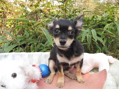 チワワ(ロング)の子犬(ID:1232811081)の2枚目の写真/更新日:2015-11-11