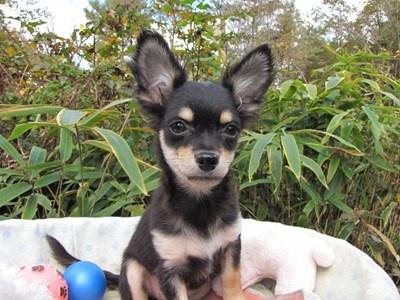 チワワ(ロング)の子犬(ID:1232811081)の3枚目の写真/更新日:2015-11-11