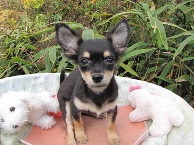 チワワ(ロング)の子犬(ID:1232811081)の4枚目の写真/更新日:2015-11-11