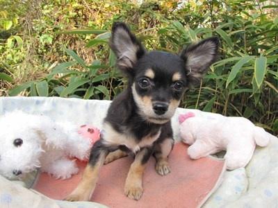 チワワ(ロング)の子犬(ID:1232811081)の5枚目の写真/更新日:2015-11-11