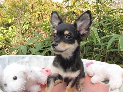 チワワ(ロング)の子犬(ID:1232811081)の6枚目の写真/更新日:2015-11-11