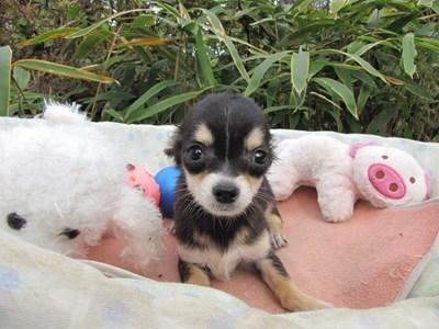 チワワ(ロング)の子犬(ID:1232811082)の1枚目の写真/更新日:2015-11-13