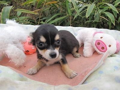 チワワ(ロング)の子犬(ID:1232811082)の2枚目の写真/更新日:2015-11-13