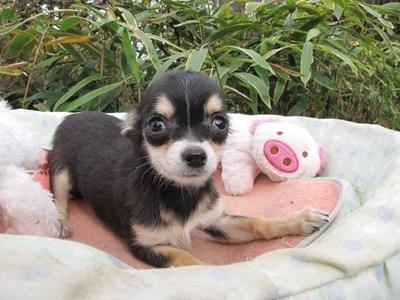 チワワ(ロング)の子犬(ID:1232811082)の4枚目の写真/更新日:2015-11-13
