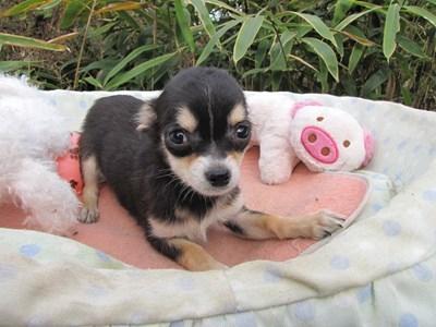 チワワ(ロング)の子犬(ID:1232811082)の5枚目の写真/更新日:2015-11-13