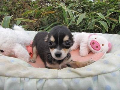 チワワ(ロング)の子犬(ID:1232811082)の6枚目の写真/更新日:2015-11-13