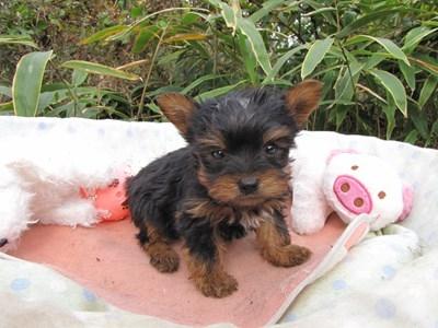 ヨークシャーテリアの子犬(ID:1232811083)の1枚目の写真/更新日:2015-11-14
