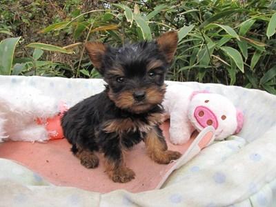 ヨークシャーテリアの子犬(ID:1232811083)の2枚目の写真/更新日:2015-11-14