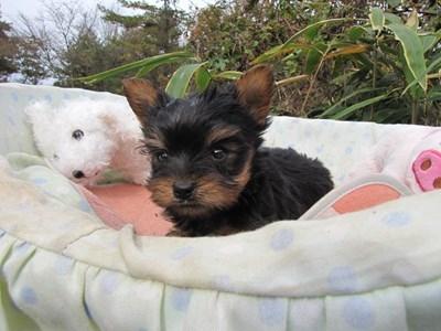 ヨークシャーテリアの子犬(ID:1232811083)の3枚目の写真/更新日:2015-11-14