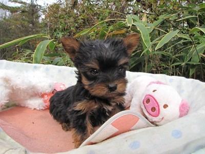 ヨークシャーテリアの子犬(ID:1232811083)の4枚目の写真/更新日:2015-11-14
