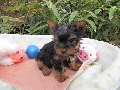 ヨークシャーテリアの子犬(ID:1232811083)の5枚目の写真/更新日:2015-11-14
