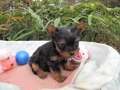 ヨークシャーテリアの子犬(ID:1232811083)の6枚目の写真/更新日:2015-11-14