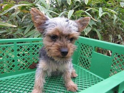 ヨークシャーテリアの子犬(ID:1232811084)の1枚目の写真/更新日:2015-11-15