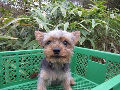 ヨークシャーテリアの子犬(ID:1232811084)の2枚目の写真/更新日:2015-11-15