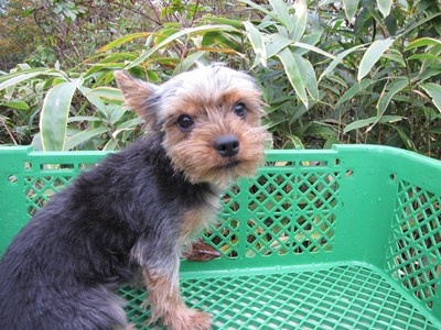ヨークシャーテリアの子犬(ID:1232811084)の3枚目の写真/更新日:2015-11-15