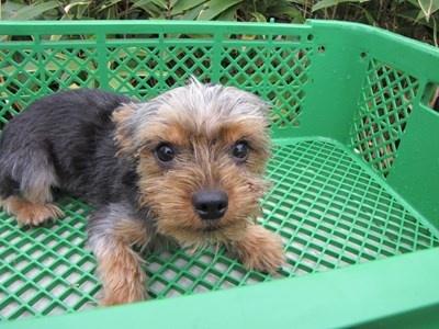 ヨークシャーテリアの子犬(ID:1232811084)の4枚目の写真/更新日:2015-11-15