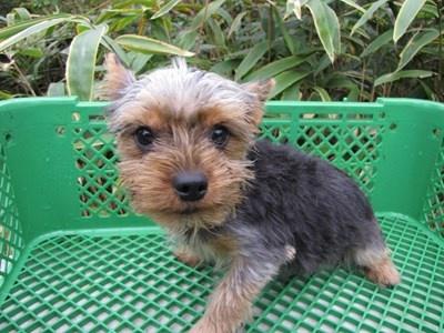 ヨークシャーテリアの子犬(ID:1232811084)の5枚目の写真/更新日:2015-11-15