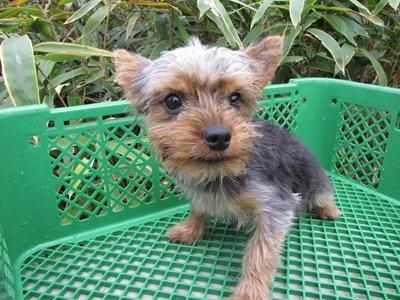 ヨークシャーテリアの子犬(ID:1232811084)の6枚目の写真/更新日:2015-11-15
