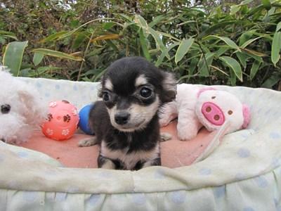 チワワ(ロング)の子犬(ID:1232811085)の1枚目の写真/更新日:2015-11-17