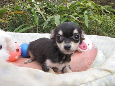 チワワ(ロング)の子犬(ID:1232811085)の2枚目の写真/更新日:2015-11-17