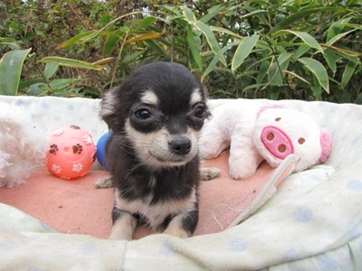 チワワ(ロング)の子犬(ID:1232811085)の3枚目の写真/更新日:2015-11-17