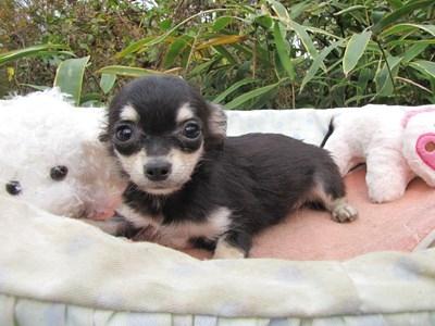 チワワ(ロング)の子犬(ID:1232811085)の5枚目の写真/更新日:2015-11-17