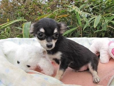 チワワ(ロング)の子犬(ID:1232811085)の6枚目の写真/更新日:2015-11-17