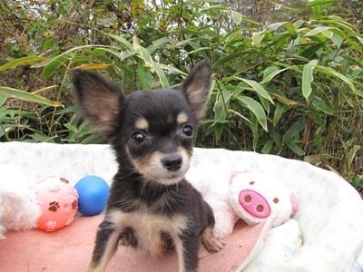 チワワ(ロング)の子犬(ID:1232811086)の1枚目の写真/更新日:2015-11-21