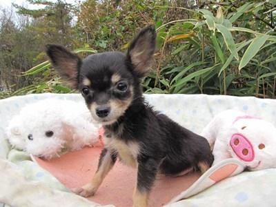 チワワ(ロング)の子犬(ID:1232811086)の2枚目の写真/更新日:2015-11-21