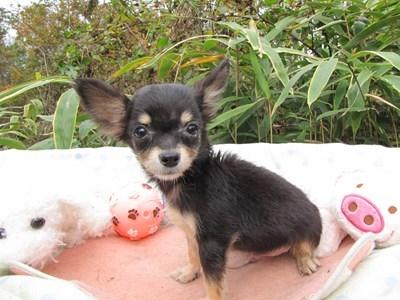 チワワ(ロング)の子犬(ID:1232811086)の3枚目の写真/更新日:2015-11-21