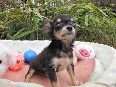 チワワ(ロング)の子犬(ID:1232811086)の4枚目の写真/更新日:2015-11-21
