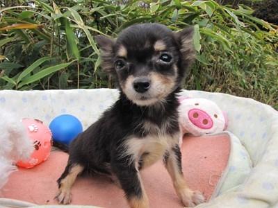 チワワ(ロング)の子犬(ID:1232811086)の5枚目の写真/更新日:2015-11-21