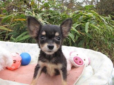 チワワ(ロング)の子犬(ID:1232811086)の6枚目の写真/更新日:2015-11-21
