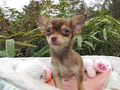 チワワ(ロング)の子犬(ID:1232811087)の1枚目の写真/更新日:2015-11-22