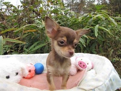 チワワ(ロング)の子犬(ID:1232811087)の2枚目の写真/更新日:2015-11-22
