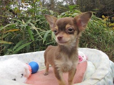 チワワ(ロング)の子犬(ID:1232811087)の3枚目の写真/更新日:2015-11-22