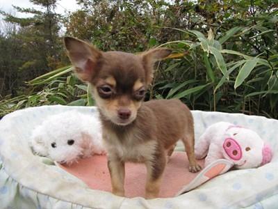チワワ(ロング)の子犬(ID:1232811087)の4枚目の写真/更新日:2015-11-22