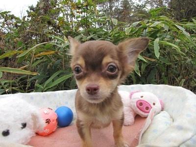 チワワ(ロング)の子犬(ID:1232811087)の5枚目の写真/更新日:2015-11-22
