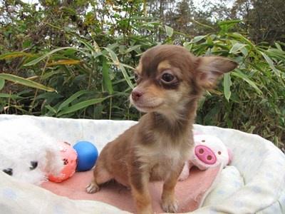 チワワ(ロング)の子犬(ID:1232811087)の6枚目の写真/更新日:2015-11-22