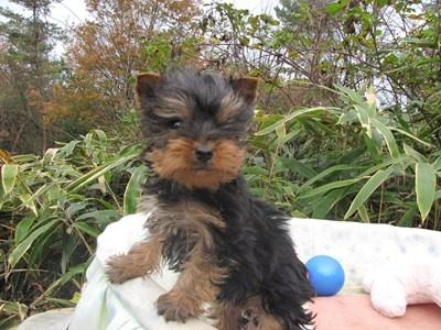 ヨークシャーテリアの子犬(ID:1232811088)の2枚目の写真/更新日:2015-11-22