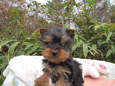 ヨークシャーテリアの子犬(ID:1232811088)の3枚目の写真/更新日:2015-11-22