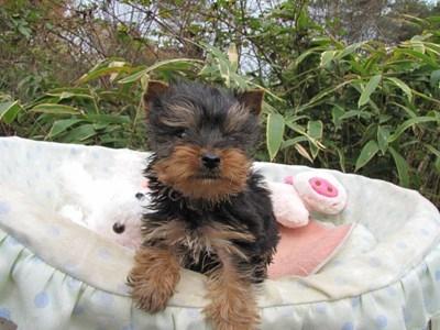ヨークシャーテリアの子犬(ID:1232811088)の4枚目の写真/更新日:2015-11-22