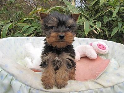ヨークシャーテリアの子犬(ID:1232811088)の5枚目の写真/更新日:2015-11-22