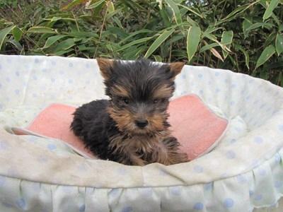 ヨークシャーテリアの子犬(ID:1232811089)の2枚目の写真/更新日:2015-11-25