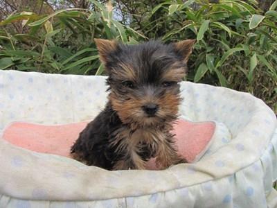 ヨークシャーテリアの子犬(ID:1232811089)の4枚目の写真/更新日:2015-11-25