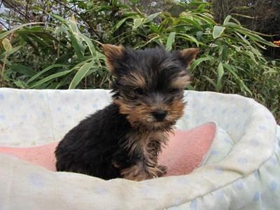 ヨークシャーテリアの子犬(ID:1232811089)の5枚目の写真/更新日:2015-11-25
