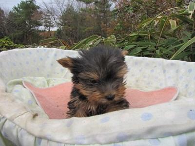 ヨークシャーテリアの子犬(ID:1232811089)の6枚目の写真/更新日:2015-11-25